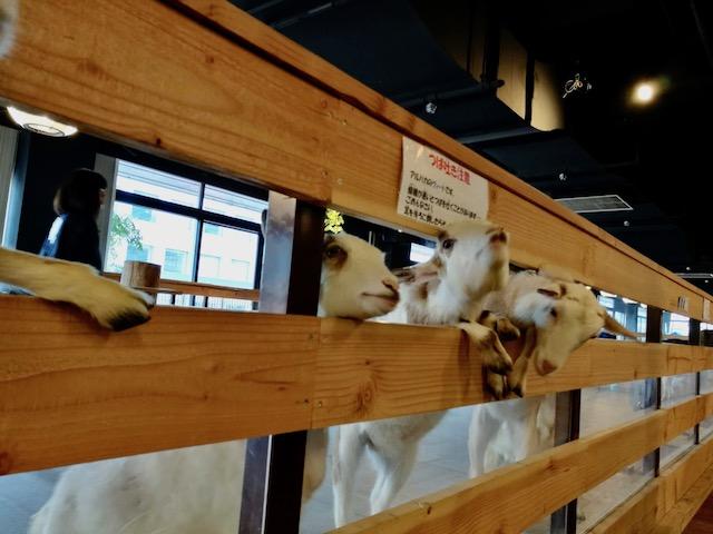 アルパカ、フラミンゴ、子供とお出かけ、大手町牧場、東京駅
