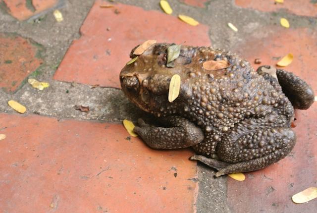 大都会バンコクにいる、大トカゲ、巨大カタツムリ、化け物、タイの生物