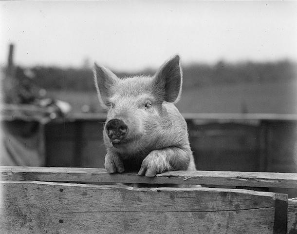 豚肉が生産される過程、豚の悲しい一生
